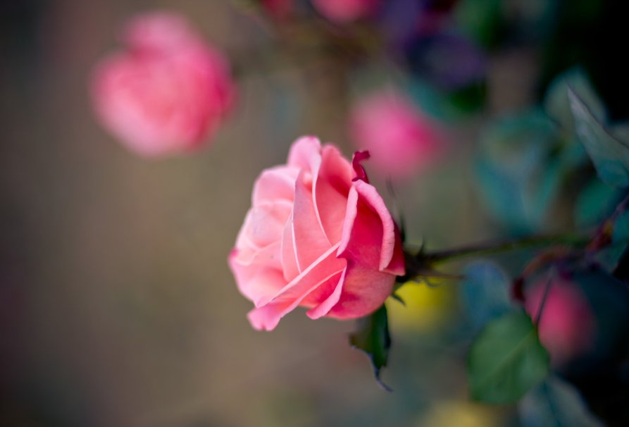192646__rose-pink-bud-petals-flower-blurred-close-up_p