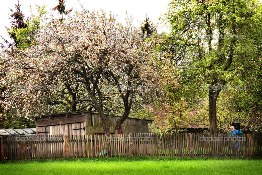 Life of the old people in the countryside at the background of Spring orchard in blossom